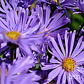 Asters After The Rain by Scott Lyons
