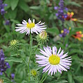 Asters In Close-up by Ron Monsour