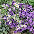 Asters Light And Dark by Ron Monsour