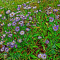 Asters On Heron Lake Trail In Grand Teton National Park-wyoming- by Ruth Hager