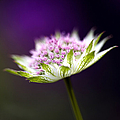 Astrantia Buckland Flower by Tim Gainey