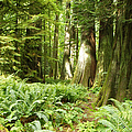 At Cathedral Grove by Marilyn Wilson
