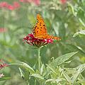 At Rest - Gulf Fritillary Butterfly by Kim Hojnacki