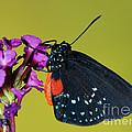 Atala Butterfly by Millard H. Sharp