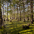 Atchafalaya Swamp   #6913 by J L Woody Wooden