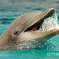 Atlantic Bottlenose Dolphin by Millard H. Sharp