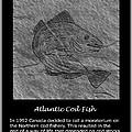 Atlantic Cod Fish Sketch by Barbara Griffin
