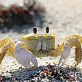 Atlantic Ghost Crab 2760 by Jack Schultz