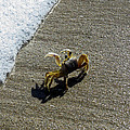 Atlantic Ghost Crab by Zina Stromberg