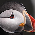 Atlantic Puffin Portrait by Bruce J Robinson