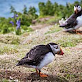 Atlantic Puffins by Paul Williams