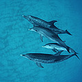 Atlantic Spotted Dolphin Adults by Flip Nicklin