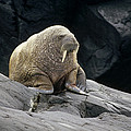 Atlantic Walrus Bull On Rocky Shore by Tui De Roy