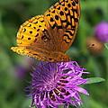 Atlantis Fritillary Butterfly by Allen Ponziani