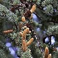 Atlas Cedar (cedrus Atlantica 'glauca') by Science Photo Library