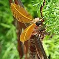 Atlas Moth by Barbara Fonseca