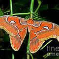 Atlas Moth by Millard H. Sharp