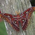 Atlas Moth Portrait Asia by Gerry Ellis