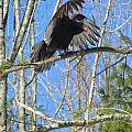 Attack Of The Turkey Vulture by Elizabeth Dow