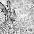 Attentive Hare by Cheryl Baxter