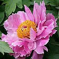 Attractive Pink Peony by Christiane Schulze Art And Photography