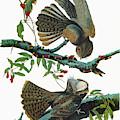 Audubon Chuck-will's Widow by Granger