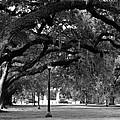 Audubon Park Oaks by Susie Hoffpauir