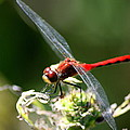August Dragonfly  by Neal Eslinger