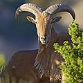 Auodad Ram On Watch by Gary Langley