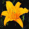 Aurelian Lily by Ingrid Smith-Johnsen