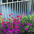 Austin Petunias  -  Luther Fine Art by Luther Fine Art