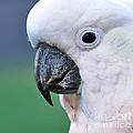Australian Birds - Cockatoo Up Close by Kaye Menner