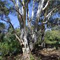 Australian Native Tree 5 by Russell Kightley