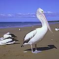 Australian Pelican On Beach by Minoru Okuda