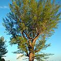 Australian Pine At Sundown by Nancy L Marshall