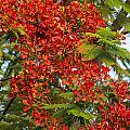 Australian Poinciana Tree by Bob Phillips