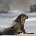 Australian Sea Lion On Beach Kangaroo by Gerry Ellis