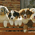 Australian Sheepdog Puppies by Jean-Michel Labat