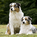 Australian Shepherd Dogs by Jean-Michel Labat