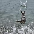 Australian Shepherd Fun At The Lake Chasing The Ball by James BO  Insogna