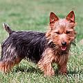 Australian Terrier Dog by John Daniels