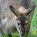Australian Wallaroo by Dale Kincaid