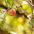 Autumn Apple by Matt Malloy