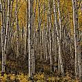 Autumn Aspen by Erika Fawcett