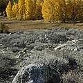 Autumn Aspens by Dave Mills