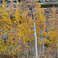 Autumn Aspens by James BO  Insogna