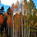 Autumn Aspens by Lynn Bawden
