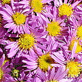 Autumn Aster by HHelene