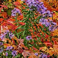 Autumn Asters by Charles Ford