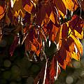Autumn Beech Leaves by Lauren Brice